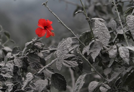 A hibiscus flower is seen on an ash-covered plant, Indonesia