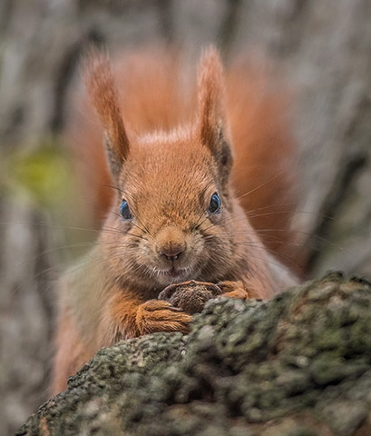 Squirrel-with-nut-in-park-007