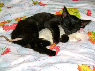 Cat_and_Rat